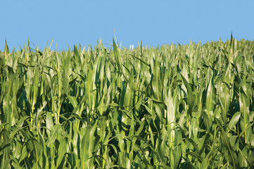 Corn Fields Isolated