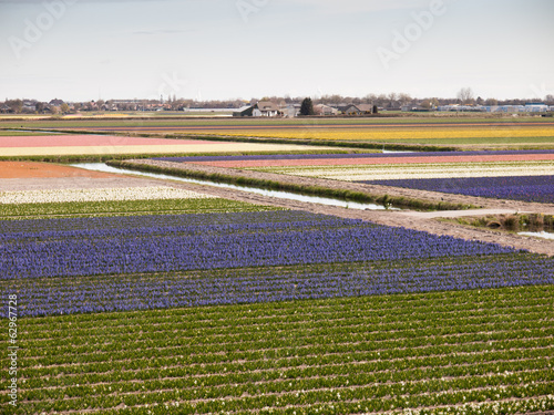 Dutch flower fields
