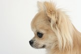 Side portrait of a beautiful purebred long hair chihuahua