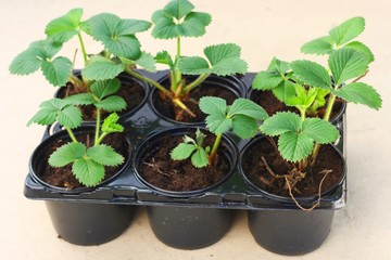 Young elsanta garden strawberry plant (Fragaria)