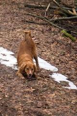 Jagdhund-Mischling beim Spielen im Wald