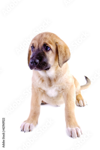 Puppy of the Spanish mastiff isolated on a white background
