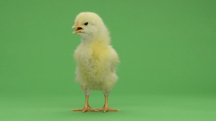 Chick standing and chirping in front of a green key