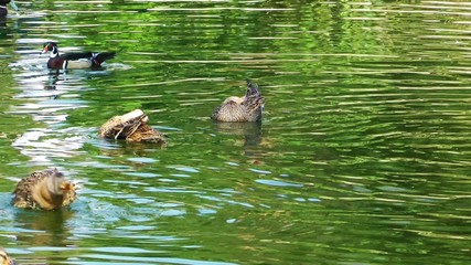 Ducks on the Green lake