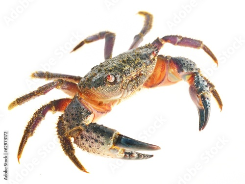colorful stone or warty crab Eriphia verrucosa isolated - 62973172