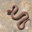 Common viper snake on sand