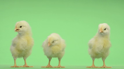 Three chicks standing in front of a green key