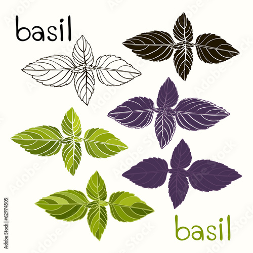 Vector set of basil on a white background