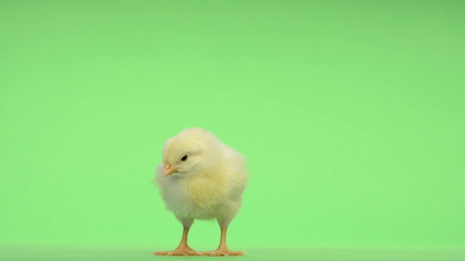 Chick standing and falling asleep in front of a green key