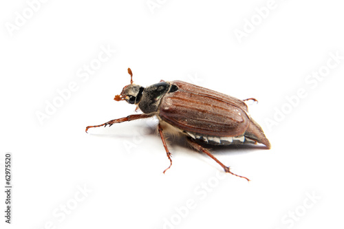 May bug macro isolated on white.