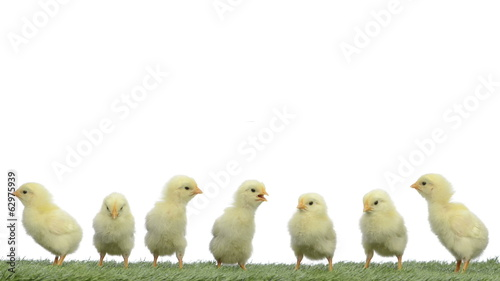 chicks standing on grass and chirping, falling asleep