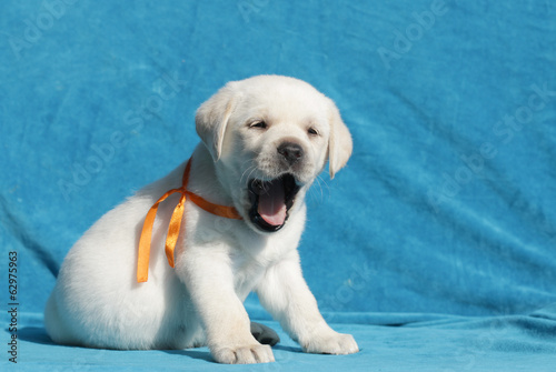 happy yellow labrador puppy portrait close up