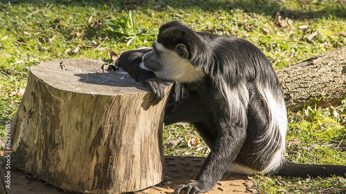 Colobus monkey resting on a tree trunk