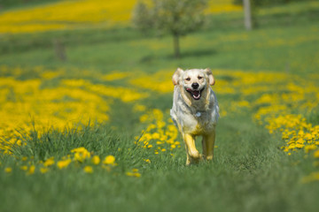 Golden retriever is running toward the camera
