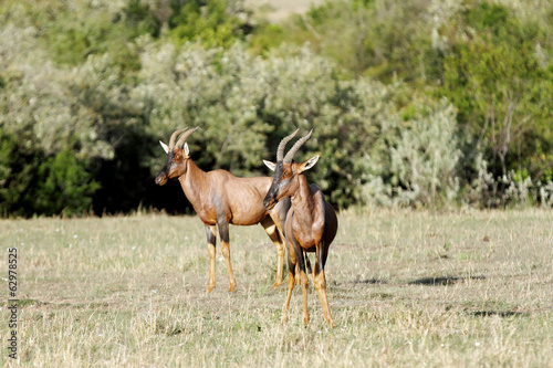 Two beautiful Topi antelopes in the Savannah, Masai Mara