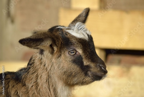 Goatling portrait