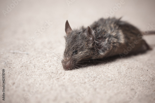 Dead mouse on carpet