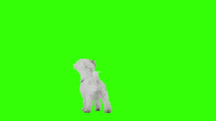 Slow motion shot of a dancing and jumping excited cute dog.