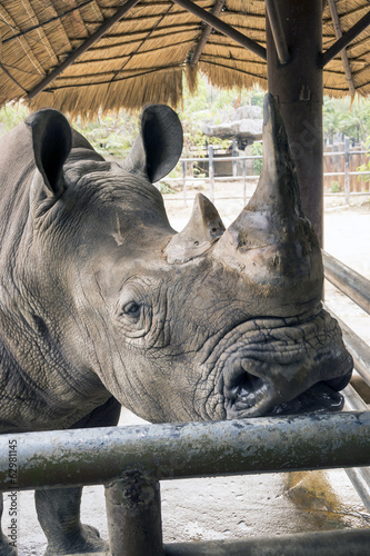 Huge head of black rhino