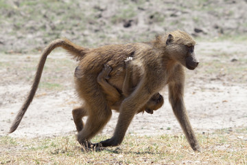 Mother and baby baboon walking in Chobe riverfront