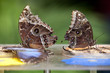 Two Blue Morphus butterfly