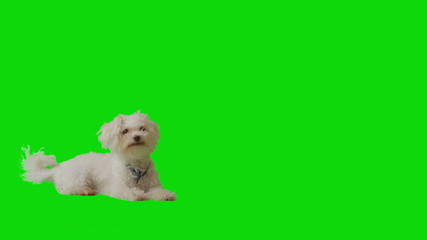 White puppy gets up walks and sits at the center of the frame.