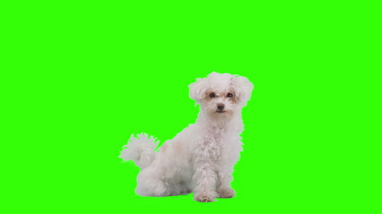 Dog waves her paw on green screen.