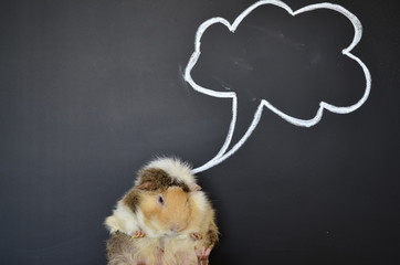 thinking guinea pig