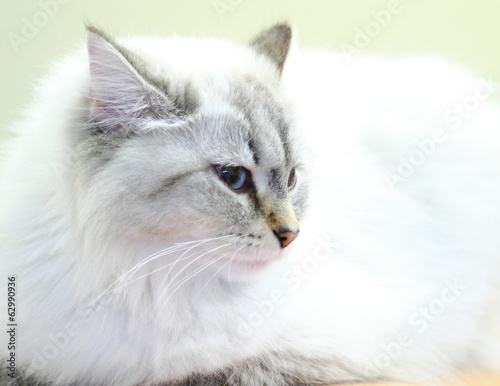 neva masquerade cat, female of siberian breed