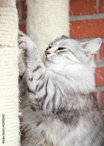 silver cat of siberian breed at the scratching post