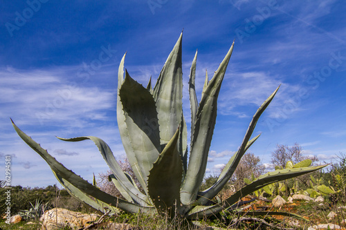 Close view of an agave americana plant on the nature.