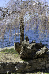 Tree on the Lecco lakeshore color image