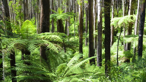 Lush green ferns, tree ferns and towering mountain ash