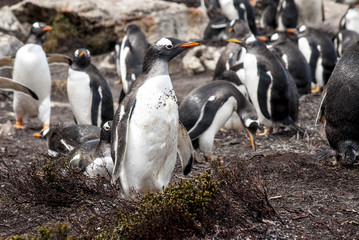 Falkland Islands - Gentoo Penguin