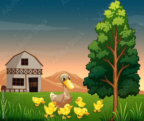 A duck and her ducklings across the barnhouse at the farm
