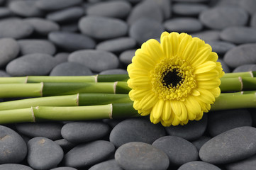 Yellow ranunculus and thin bamboo grove on zen pebbles