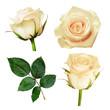 Obrazy na płótnie, fototapety, zdjęcia, fotoobrazy drukowane : Set of white rose flowers