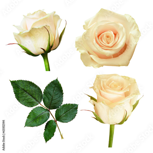 Set of white rose flowers
