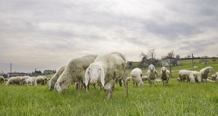 flock of sheep in a meadow