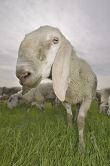 funny sheep ( Ovis aries )