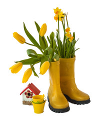 Yellow daffodils, tulips and rubber boots isolated