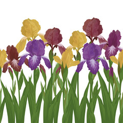 Flowers iris, seamless