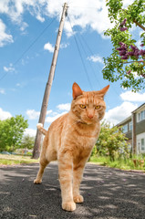 urban red tabby defending his alley