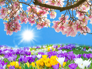 Krokusse und Magnolien in der Sonne