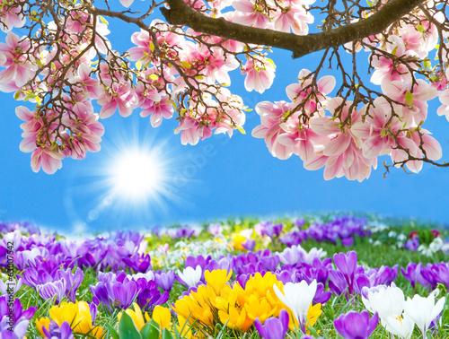 Obraz na płótnie Krokusse und in der Sonne Magnolien
