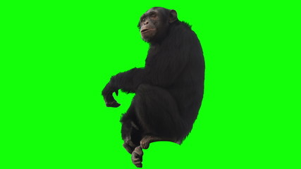 Monkey on Green Screen