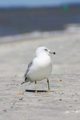 American Herring Gull on a Secluded Beach
