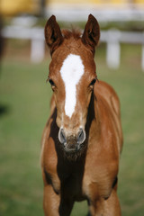 Head shot of a two weeks old thoroughbred foal
