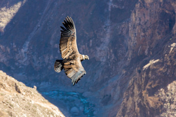 Flying condor over Colca canyon,Peru,South America