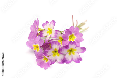 bouquet of purple primroses on white background